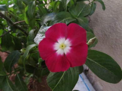 Dual Colore Flower