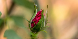 Rose Bud Stuck in Layers